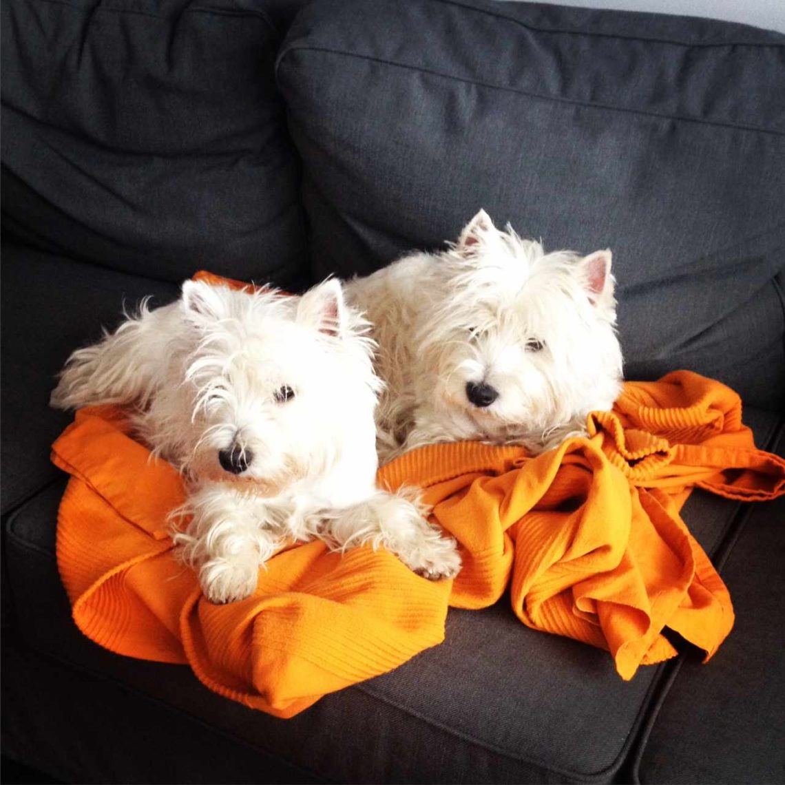 Hodowla west highland white terrier Pan Cogito