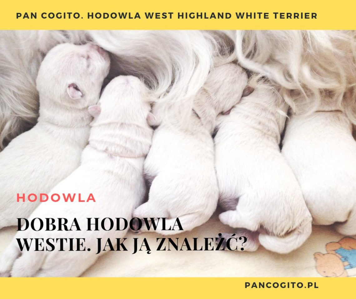 Dobra hodowla west highland white terrier