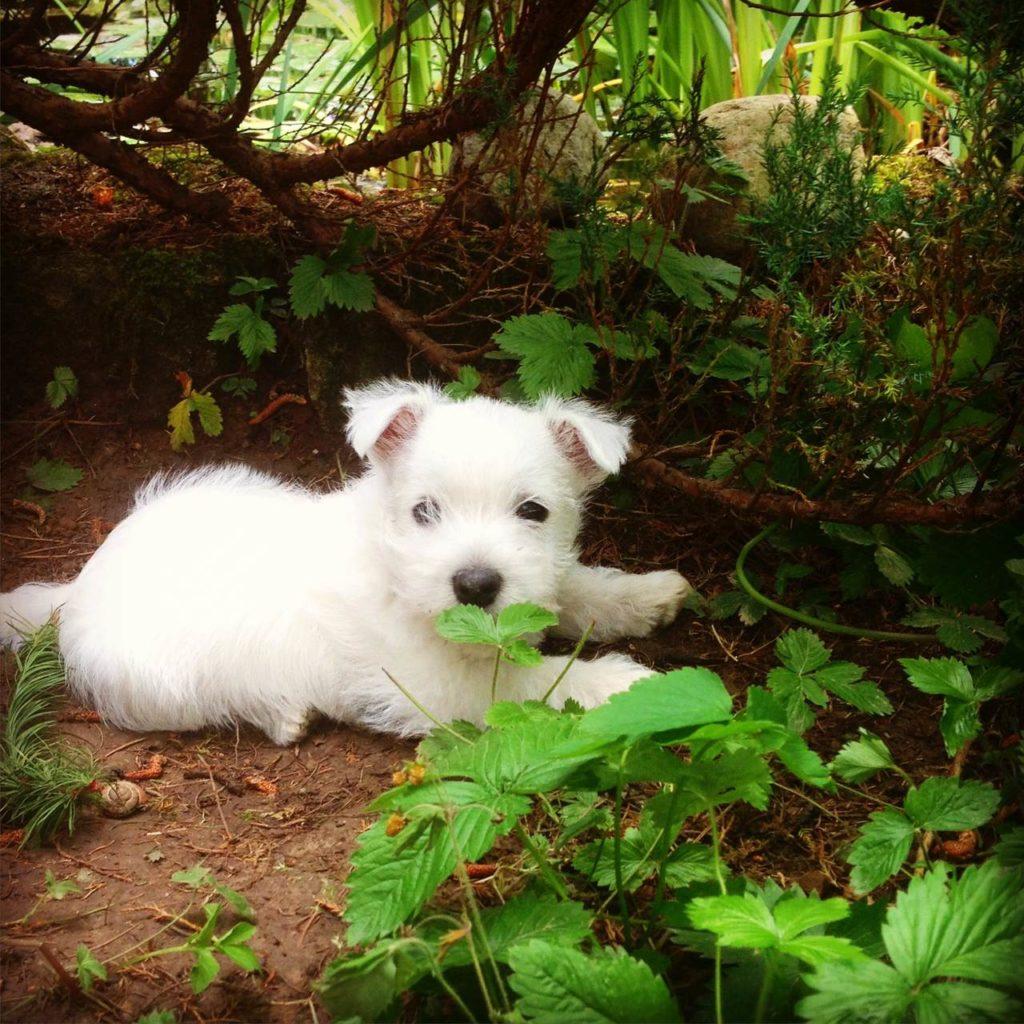 CMO (Osteopatia czaszkowo-żuchwowa) west highland white terrier