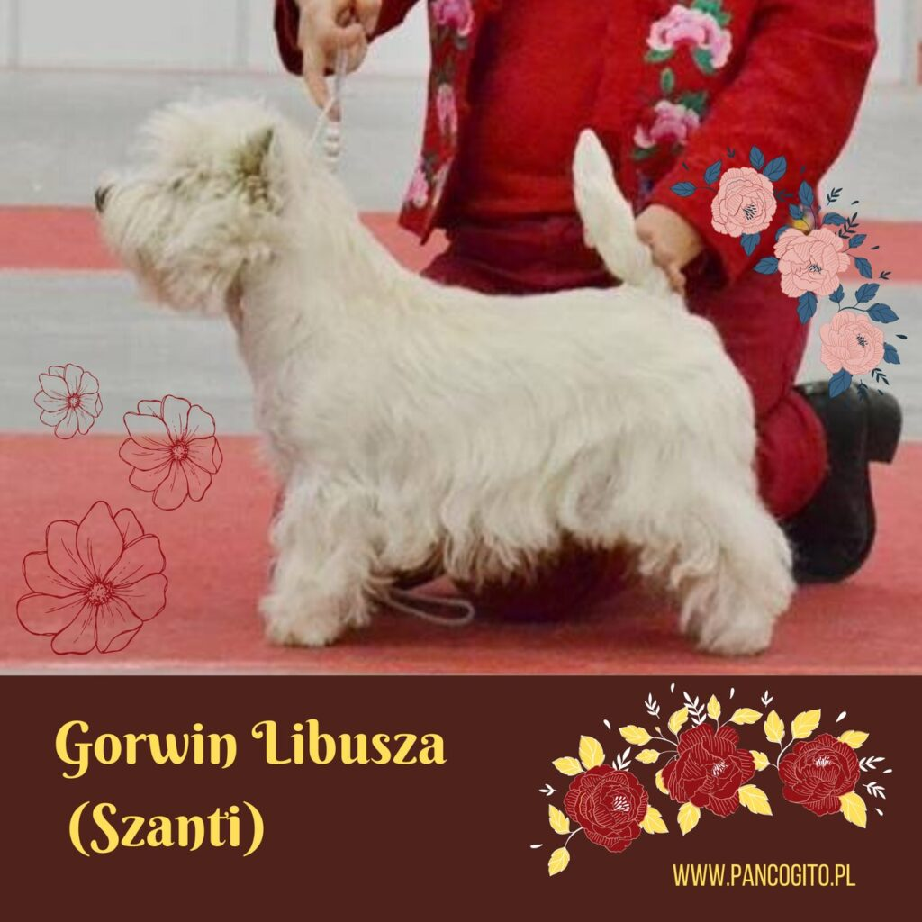 west highland white terrier Gorwin Libusza