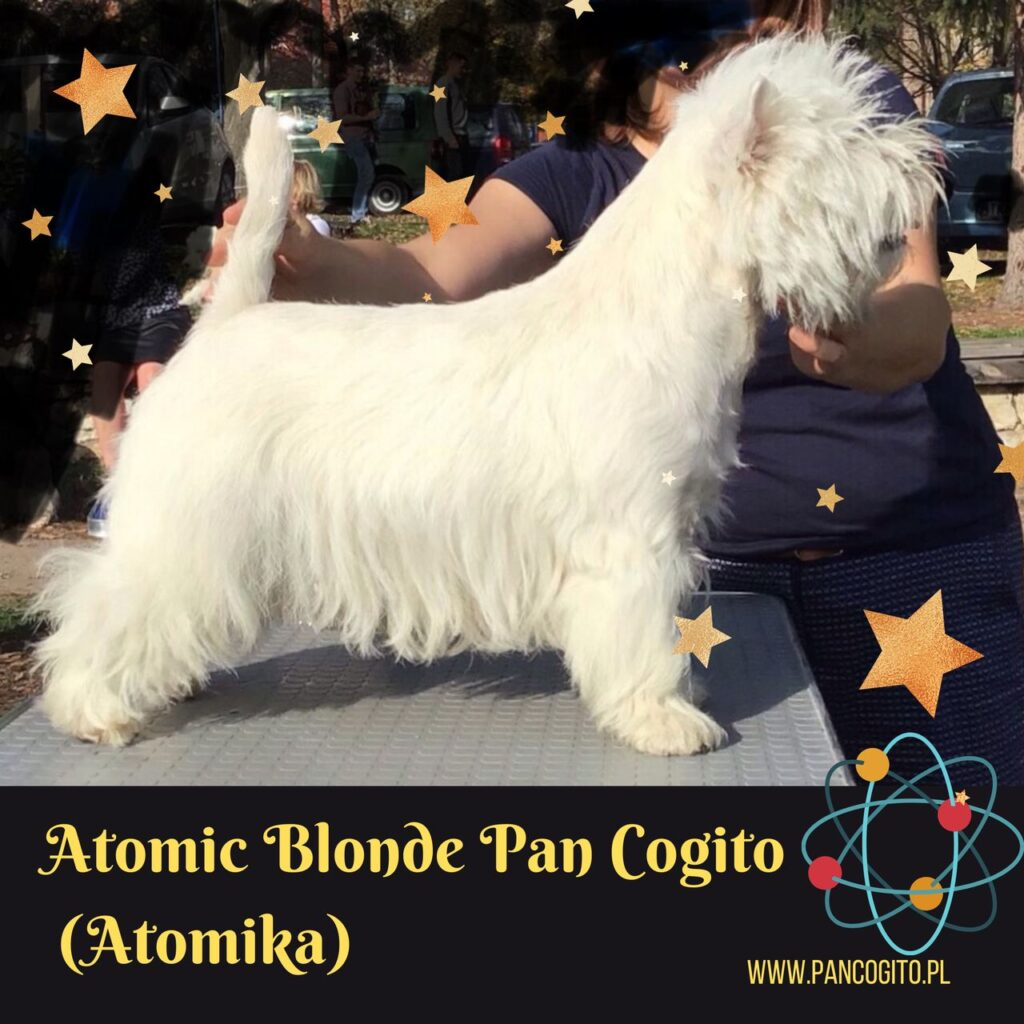 Atomic Blonde Pan Cogito, west highland white terrier