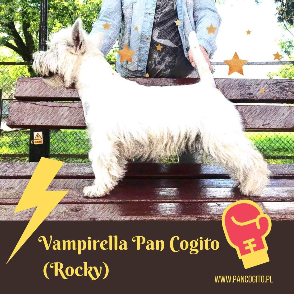 Vampirella Pan Cogito, west highland white terrier