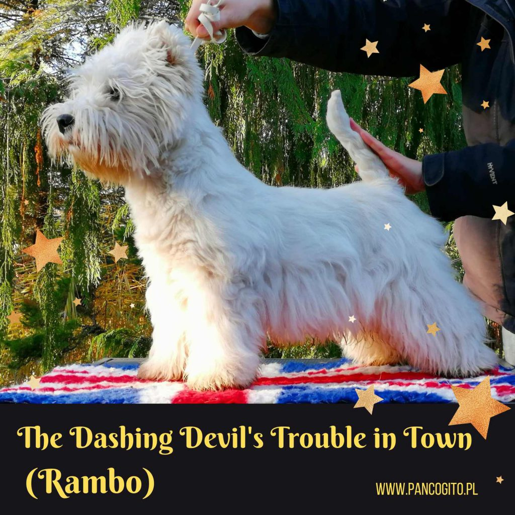 west hingland white terrier The Dashing Devil's Trouble in Town